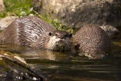 Lontras brincalhão no riverbank Fotografia de Stock