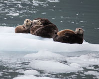 Lontras de mar Foto de Stock Royalty Free