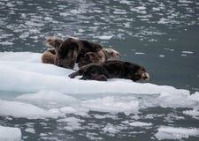 Lontras de mar Imagem de Stock