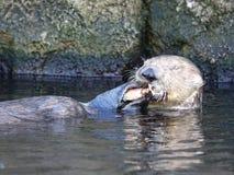Lontras de mar no aquário 10 de New York Fotografia de Stock