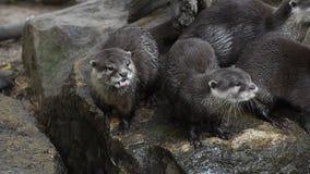 Lontras de rio grito e bocejo em rochas video estoque