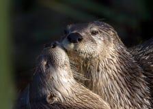 Lontras de rio norte-americanas - canadensis de Lontra Fotografia de Stock