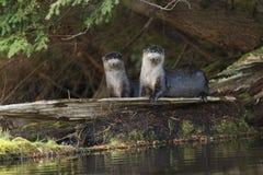 Lontras de rio norte-americanas em um log Imagens de Stock