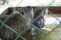 Lontras ( Latim - Myocastor coypus) em uma gaiola em um tanque de água Fotos de Stock