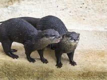 Lontras na borda da água fotografia de stock