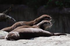 Lontras no jardim zoológico de Berlim foto de stock