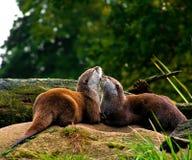 Lontras vermelhas no amor Fotografia de Stock Royalty Free