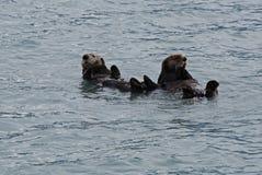 Lontre che galleggiano nella baia di resurrezione vicino a Seward Alaska fotografia stock