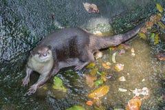 Lontre che si trovano sull'acqua Immagini Stock Libere da Diritti