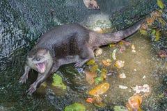 Lontre che si trovano sull'acqua Immagine Stock