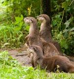 Lontre curiose Immagini Stock