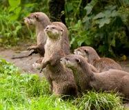 Lontre curiose Fotografie Stock Libere da Diritti