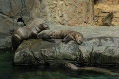 Lontre di fiume giganti Fotografie Stock