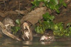 Lontre di fiume giganti a pranzo Fotografia Stock