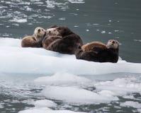 Lontre di mare Fotografia Stock Libera da Diritti