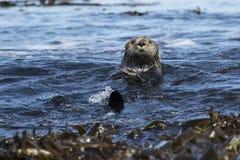 Lontre di mare che galleggiano fra l'alga vicino alla riva il giorno soleggiato Fotografia Stock Libera da Diritti