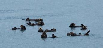 Lontre di mare che galleggiano insieme Fotografia Stock Libera da Diritti