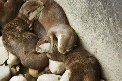 Lontre di sonno Fotografia Stock Libera da Diritti