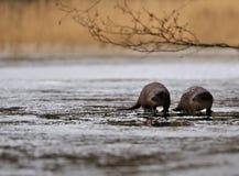 Lontre nel selvaggio Fotografia Stock Libera da Diritti