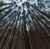 Looking up in pine forest tree tops with crowns to canopy. Bottom View Wide Angle Background. Loocking up in pine forest trees to canopy. Bottom View Ultrawide royalty free stock images