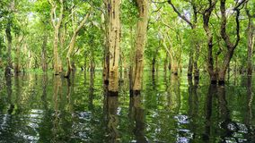 Looded mangrove forest. Cambodia stock photos