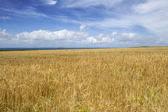 Gold wheat field in Cornwall  Stock Images