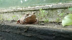 Loog de la rana Imagen de archivo libre de regalías