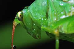 The Look. A macro photo taken on the head of a grasshopper Royalty Free Stock Photo