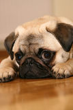 Look. Sweet pug looking at you Stock Photo