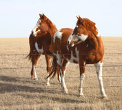 Look. Two pinto ponies looking to the left Royalty Free Stock Photography