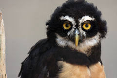 The Look. Spectacled Owl against grey background to emphasize his huge yellow eyes Royalty Free Stock Photos