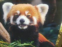 Cutest red panda royalty free stock image