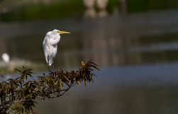 Look Ahead : Cattle Egret / Bubulcus ibis in normal plumage royalty free stock photos