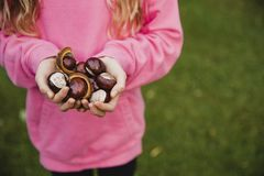 Look at all of These Conkers royalty free stock photo