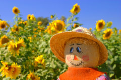 The Look of Autumn. A scarecrow gives a longing look at a field of sunflowers at a harvest festival Stock Images