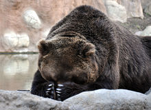 Look at the big brown bear Stock Photography