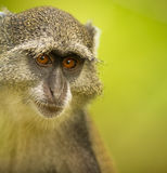 The look of the Blue Monkey Stock Photography
