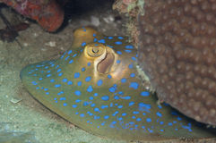 Look of a blue spotted sting ray Stock Image