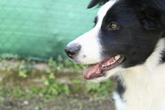 Look of a border collie stock photography