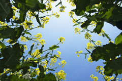 A look from the bottom to the blooming canola Stock Photo