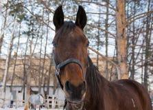 Look Brown horse Stock Image