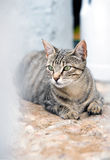 Look of a cat lying and lurking while hunting. Portrait of a cat with ears raised on stalking hunting attitude / look of a cat lying and lurking while hunting Stock Photos