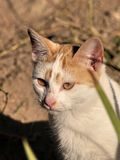 The look of the cat. Mixed-breed cat, staring, looking for prey Stock Image