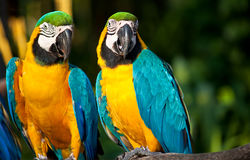Look at that chic.....Mate. A pair of macaws pay attention at something that moves in front of them Royalty Free Stock Image