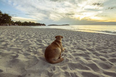 Look for colors of the world-Koh Samui,Thailand. Wait for sunrise , the dog is looking for colors of the world Royalty Free Stock Photography