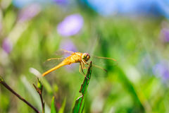 Look at a common dragonfly. Stock Image