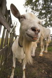 Look of crazy white goat. Fun face Royalty Free Stock Images