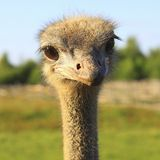 The look of curious ostrich close up. Head of african bird. The look of curious ostrich close up Royalty Free Stock Photography