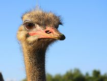 The look of curious ostrich close up. Head of african bird against blue sky. The look of curious ostrich close up Stock Images