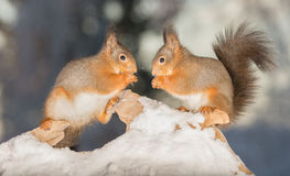 Look deep in my eyes. Red squirrels standing on wood with snow facing each other Stock Image